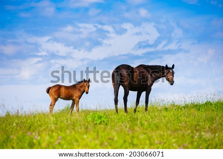 mare and foal in spring meadow  - stock photo