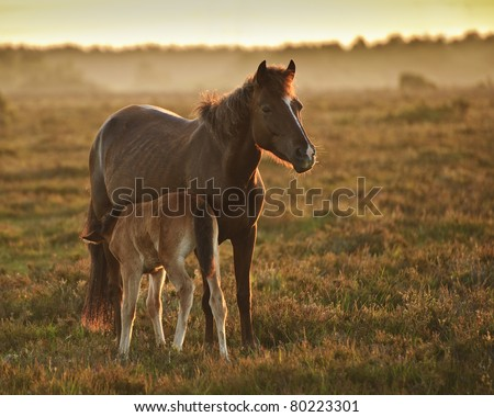 Mare and foal of New Forest pony grazing in landscape lit by warm sunrise