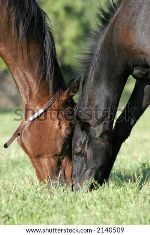 Mare and foal touch heads while grazing together on a green pasture in morning sunlight. - stock photo