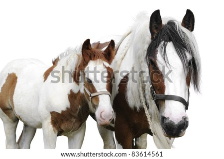 Mare and her foal irish cobs on a white background - stock photo