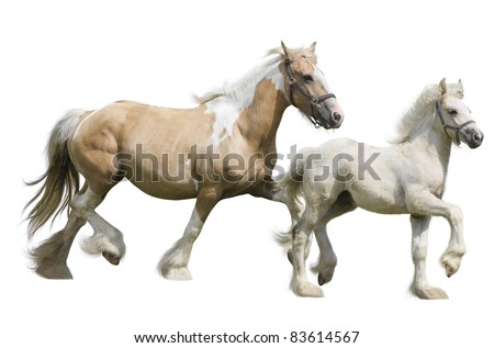 Mare and her foal irish cobs, running in front of white background - stock photo