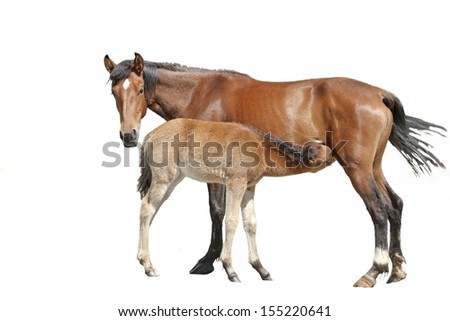 Mare feeding her foal, isolated. - stock photo