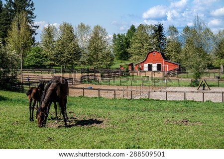 Mare Grazing and Filly grazing in a Meadow near Fort Langley British Columbia with their red barn showing in the background - stock photo