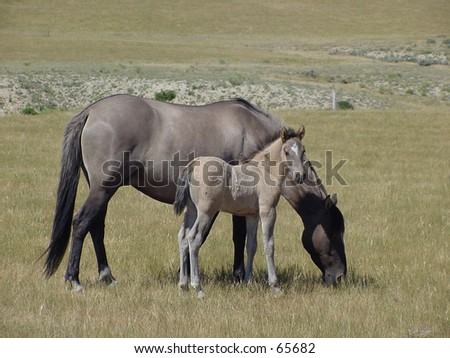 Mare grazing with foal - stock photo