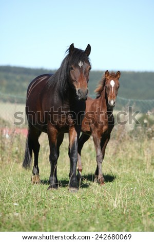 Mare of czech sport pony with its foal running - stock photo