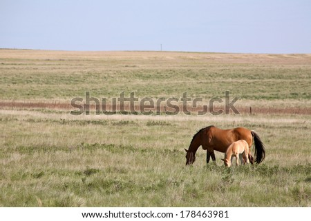 Mare with foal in Saskatchewan pasture - stock photo