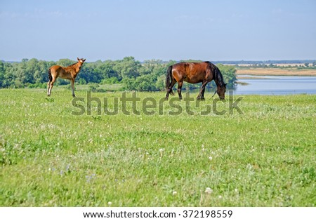 Mare with foal on pasture in the picturesque countryside near the great river of Volga - stock photo