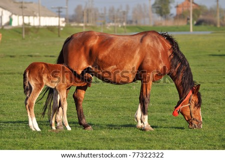 Mare with sucking colt - stock photo