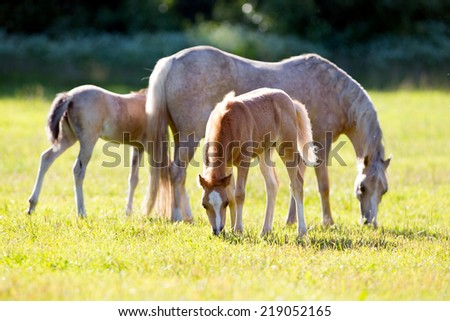 Mare with two foals in field - stock photo