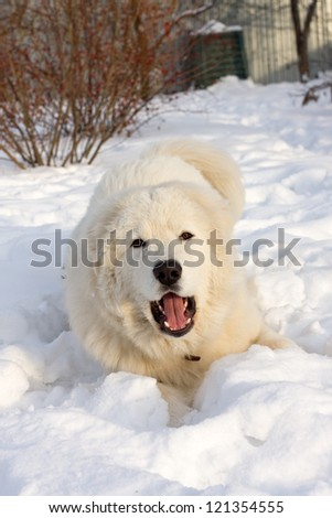 Maremma or Abruzzese Sheepdog Portrait on the snow