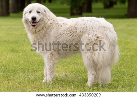 Maremma or Abruzzese white patrol dog standing on the grass