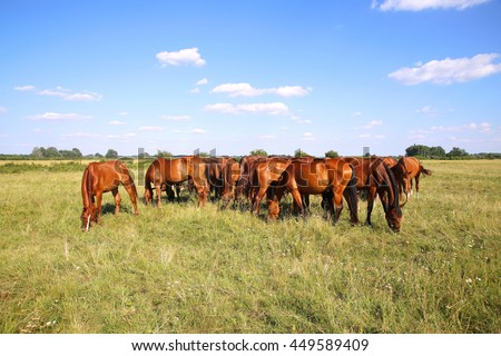 Mares and foals graze on green grass rural scene in the background Herd of gidran horses eating fresh green grass summertime  - stock photo