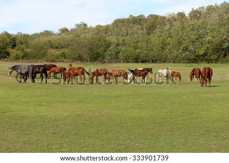 Mares and foals grazing green grass  on the meadow summertime - stock photo