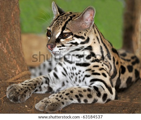 Margay cat or Caucel lying on ground, feline reserve, nicaragua, central america - stock photo