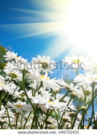 marguerite background - stock photo