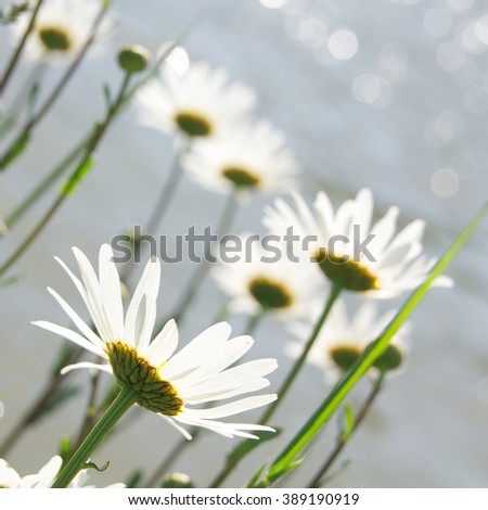Marguerite blossoms - view from below against water surface with light reflections; Catch some sun rays - stock photo