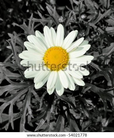 Marguerite Close Up - stock photo