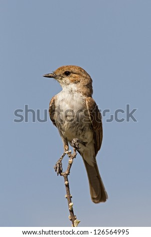 Marico flycatcher perched on twig against blue sky; Bradornis mariquensis