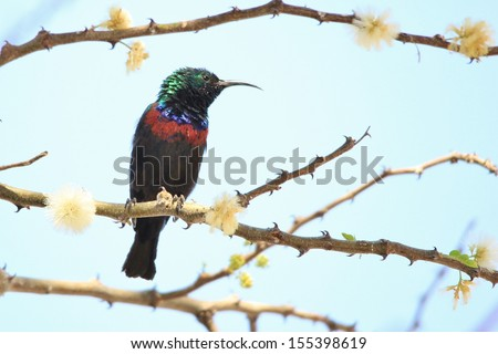 Marico Sunbird - Wild Bird Background from Africa - Plumage of color and super beauty