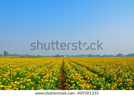 Marigold field with blue sky  background.Agricultural concept,Agricultural industry concept. - stock photo
