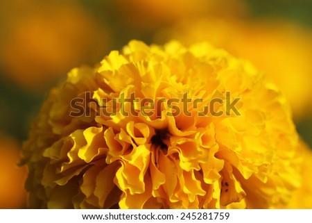 Marigold flower. - stock photo