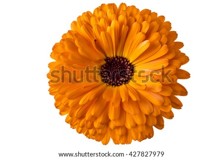 Marigold flower, Calendula Officinalis, with leaves in flowerpot isolated on white - stock photo