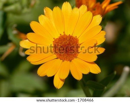 Marigold flower close-up
