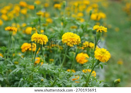 marigold flower farm, Agricultural Business in Thailand. - stock photo