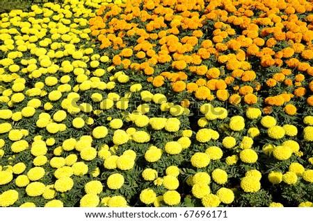 Marigold flower festival in Thailand - stock photo