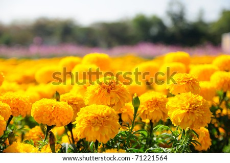 Marigold flower festival in Thailand - stock photo