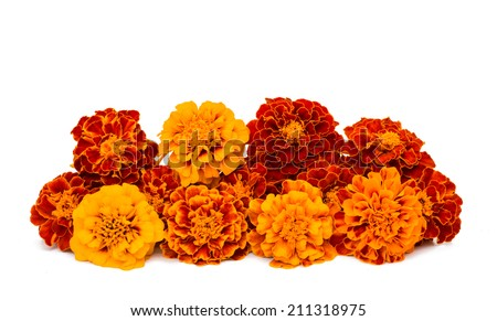 Marigold flower on a white background - stock photo
