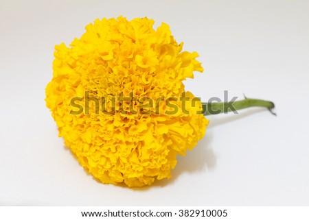 Marigold flower on a white background - stock photo