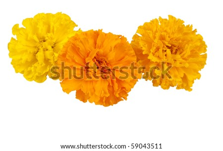 Marigold flower on white background stock photo 59043511 shutterstock marigold flower on a white background mightylinksfo
