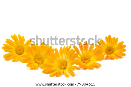marigold flower on a white background