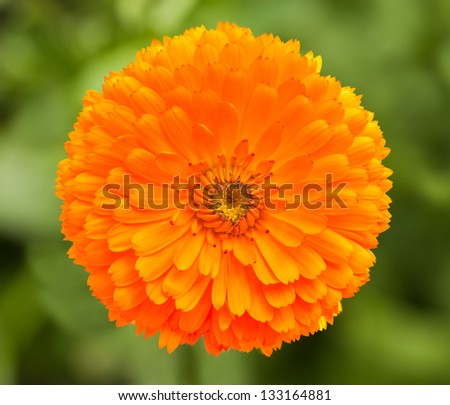 marigold flower on blurred background - stock photo