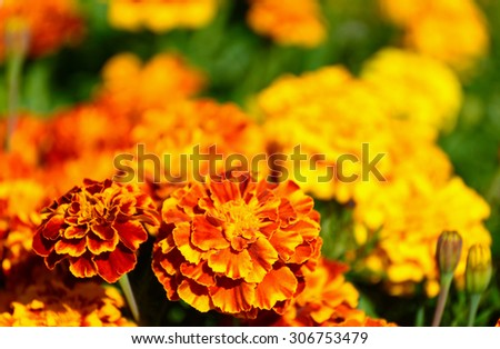 Marigold flower on sunny day - stock photo