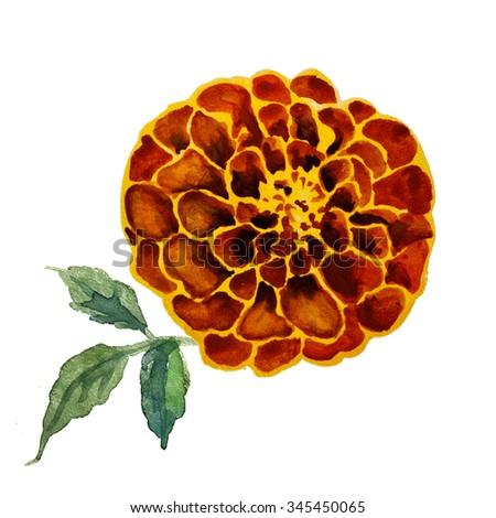 Marigold flower on white - stock photo