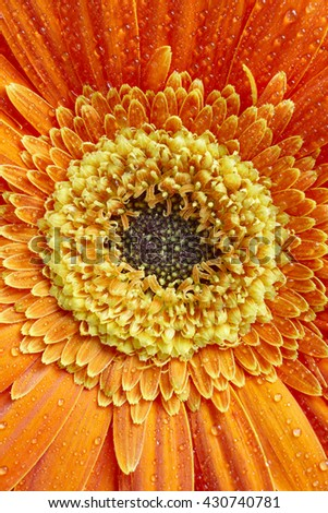 Marigold flower petals detail in orange and yellow tone. Botanical. Vertical - stock photo