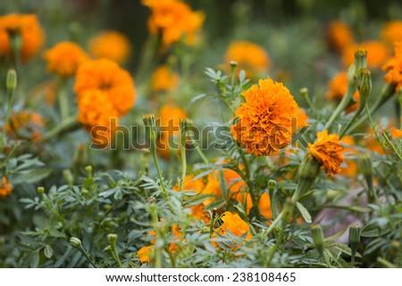 Marigold flower with blur background - stock photo