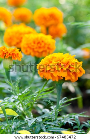 Marigold flower with soft sun light, Kohloy Sriracha Thailand - stock photo