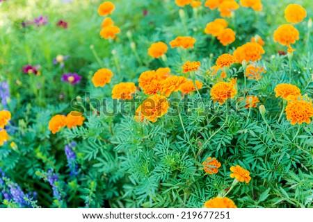 marigold flowers background - stock photo