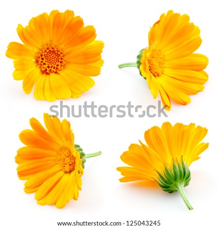 marigold flowers. Calendula. flowers isolated on white. set - stock photo
