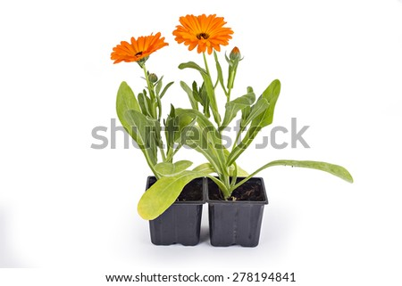 Marigold flowers, Calendula Officinalis, with leaves isolated on white - stock photo