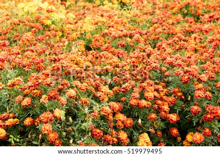 marigold flowers field nature