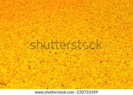 Marigold flowers Full frame background