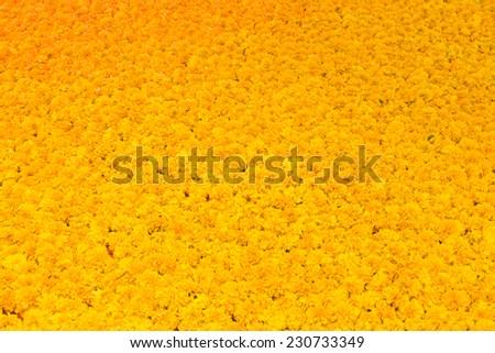 Marigold flowers Full frame background - stock photo