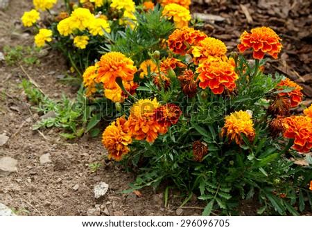 Marigold flowers in the garden - stock photo