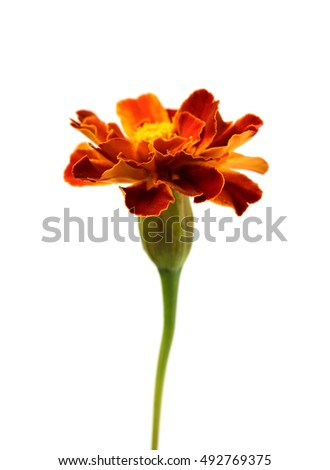 marigold flowers isolated on white
