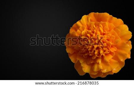 Marigold flowers \ Marigold flowers texture macro photo - stock photo