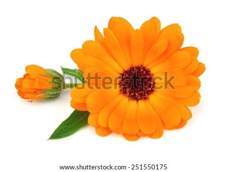 Marigold flowers on a white background. Calendula - stock photo